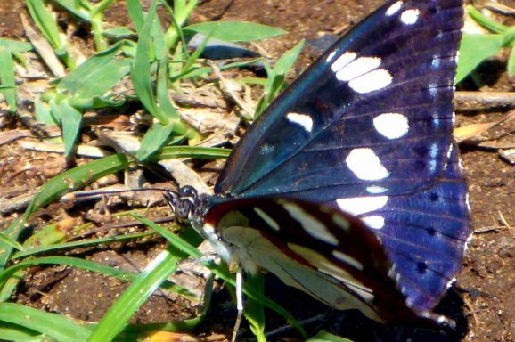 The most beautiful Croatian butterflies flying on Lokrum Island
