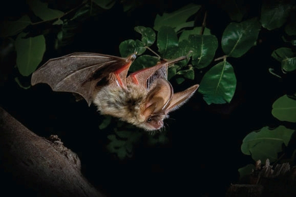 Technologies in biology: bats